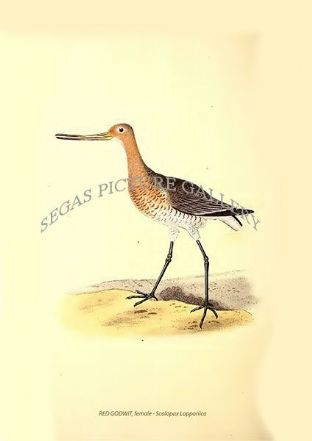 RED GODWIT, female - Scolopax Lapponica